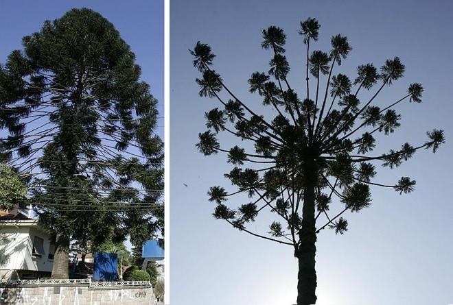 Araucária-australiana da Rua da Paz e pinheiro-do-paraná da Manoel Ribas estão na lista das árvores protegidas na capital | Fotos: Aniele Nascimento/Gazeta do Povo