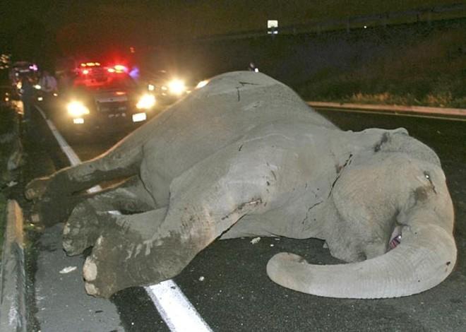 Corpo do elefante atropelado em estrada no centro do México na madrugada desta terça-feira (23)   Reuters