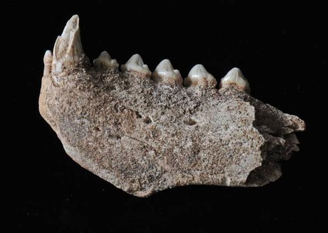 Mandíbula de foca-monge devorada por neandertais | Clive Finlayson/Museu de Gibraltar