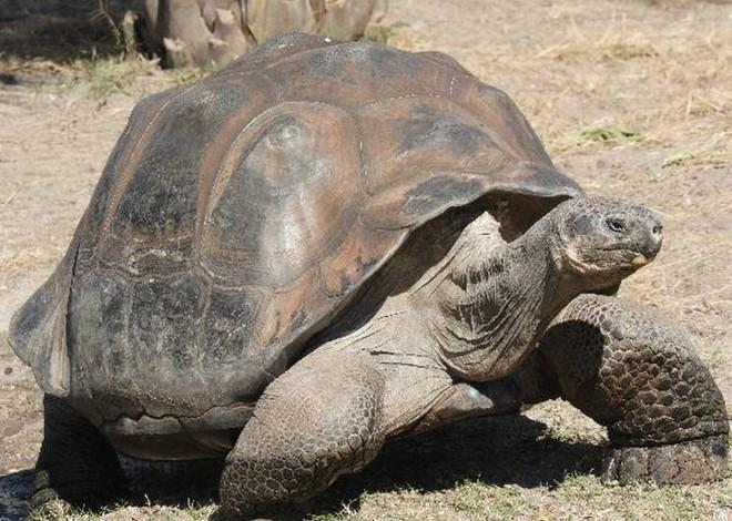 Tartaruga-gigante-das-galápagos: espécie extinta aparenta ter genes em animais ainda vivos   Reprodução / G1