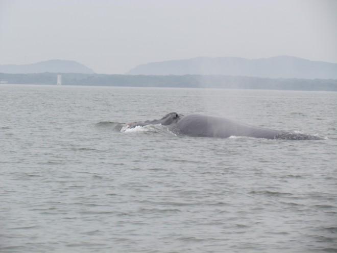 Filhote de baleia foi fotografado na tarde desta sexta-feira | Antonio Carlos Nunes Júnior