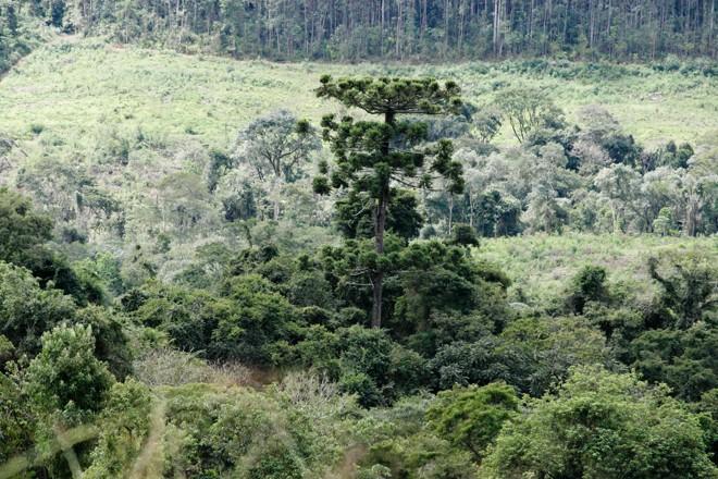 Um dos mistérios é sobre o pinheiro que virou pedra. | Henry Milléo/ Gazeta do Povo