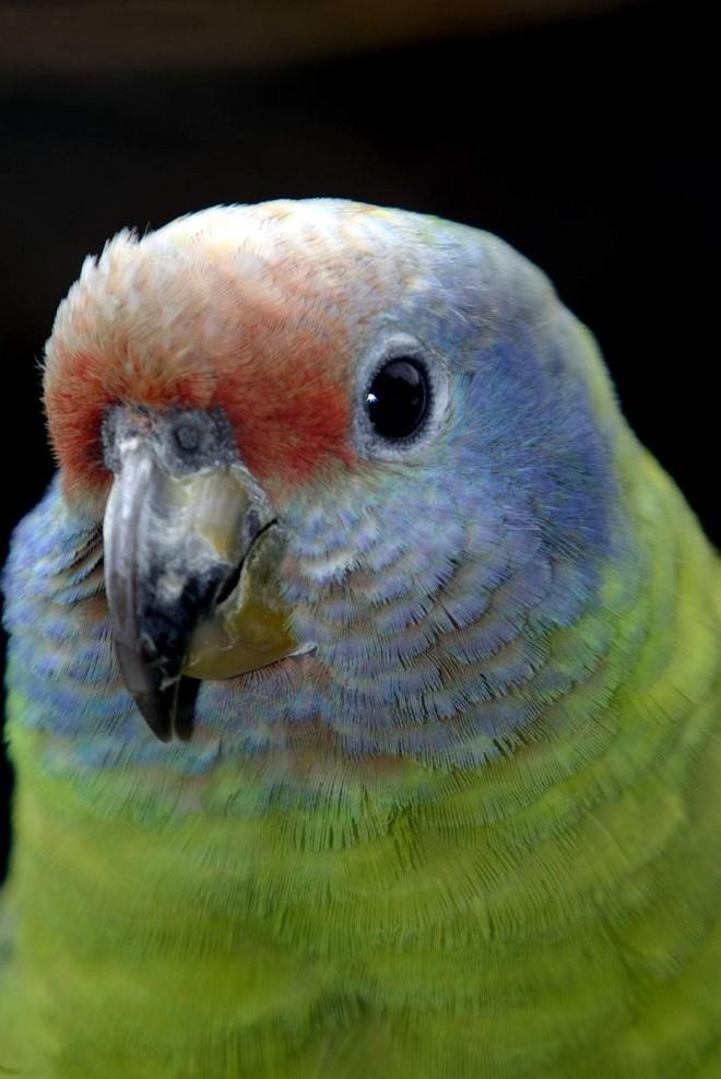 Papagaio da cara roxa |