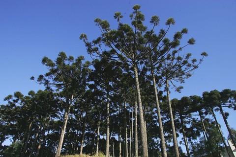 Segundo um levantamento de 2000, a Floresta de Araucárias ocupa apenas 0,8% da área de cobertura original | Jonathan Campos/Gazeta do Povo