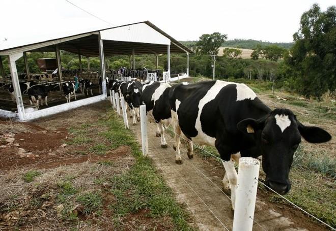 Animais da raça holandesa, campeões em produtividade na ordenha, substituíram vacas mestiças nas últimas duas décadas   Hugo Harada/Gazeta do Povo