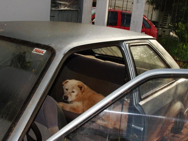 O cachorro reagiu agressivamente quando os policiais tentaram tirá-lo do carro | Luiz Carlos da Cruz, correspondente em Cascavel