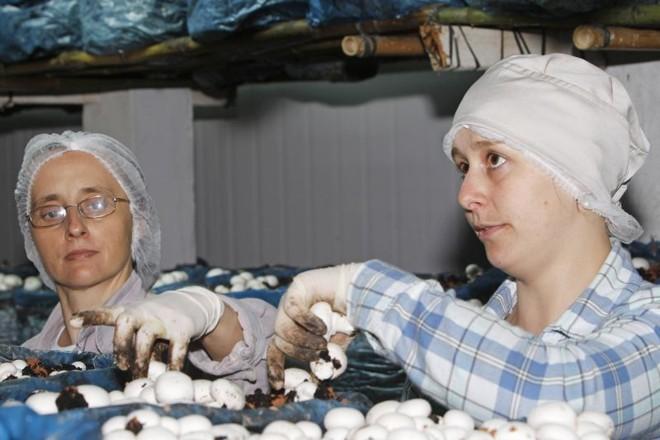 A produtora de champignon, Juanice Boszcz (à dir.) e sua tia, Eva Edite. Aposta surgiu como alternativa à inviabilidade do milho e da soja na área da família | Antonio More/gazeta Do Povo