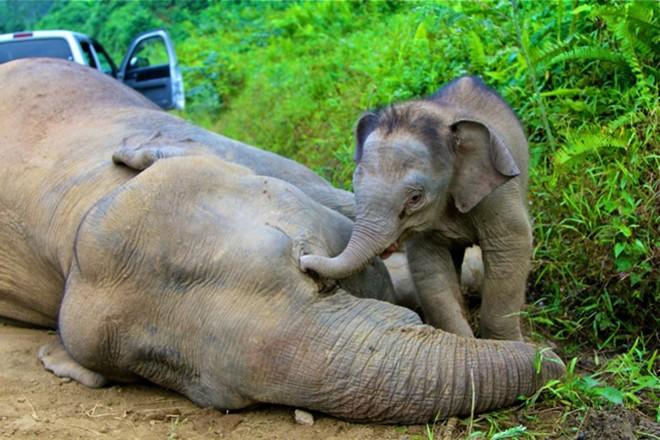 Na ilha de Sumatra, elefantes são envenenados por agricultores para que não comam as lavouras   REUTERS/Sabah Wildlife Department