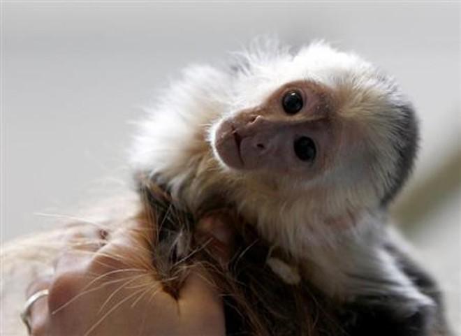 Mally, macaco de estimação do cantor canadense Justin Bieber fotografado em lar de animais, em Munique | REUTERS/Michaela Rehle