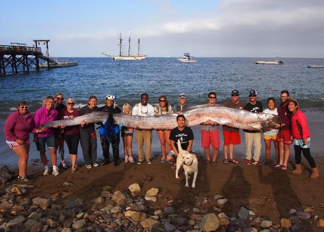 Cientistas exibem na foto  maior um raro peixe-remo de 5,5 metros, um dos dois espécimes encontrados em outubro | Catalina Island Marine Institute, via Associated Press