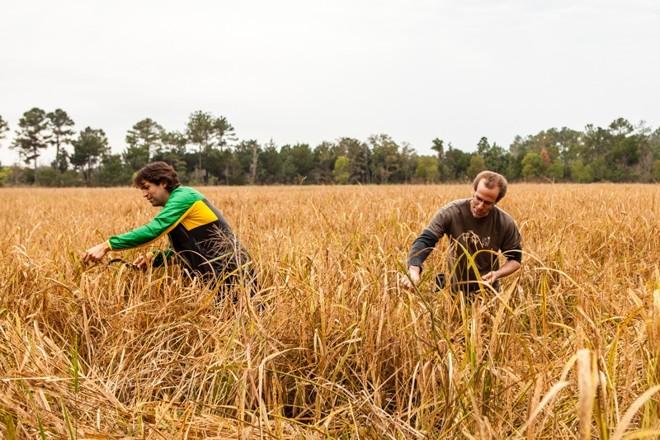 Ben Shewry, à esquerda, e Dan Barber colhendo o arroz de ouro | Alanna Hale Para The New York Times