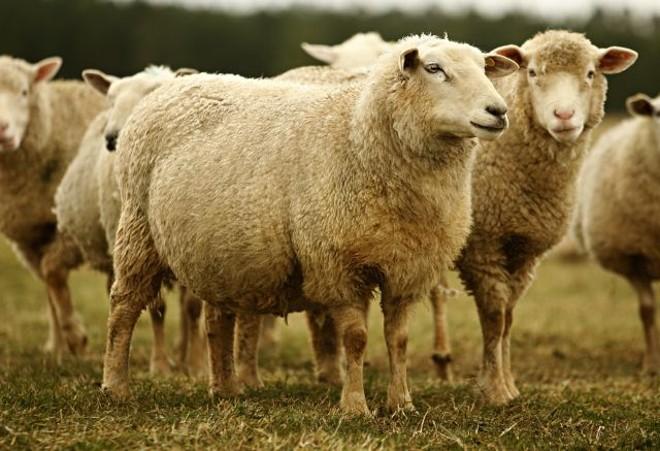 Criadores de ovinos têm encontro quarta-feira | Josua© Teixeira/ Gazeta Do Povo