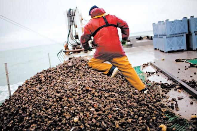 Lesmas-do-mar atlânticas invasoras cobrem o leito do mar ao largo de Cancale | Catalina Martin-Chico paraThe New York Times
