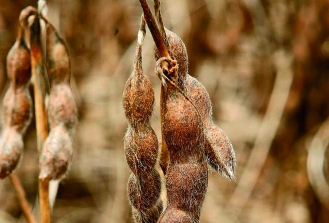 Vagem de quatro grãos: inovação tecnológica no campo e símbolo de superação. | Hugo Harada/gazeta Do Povo