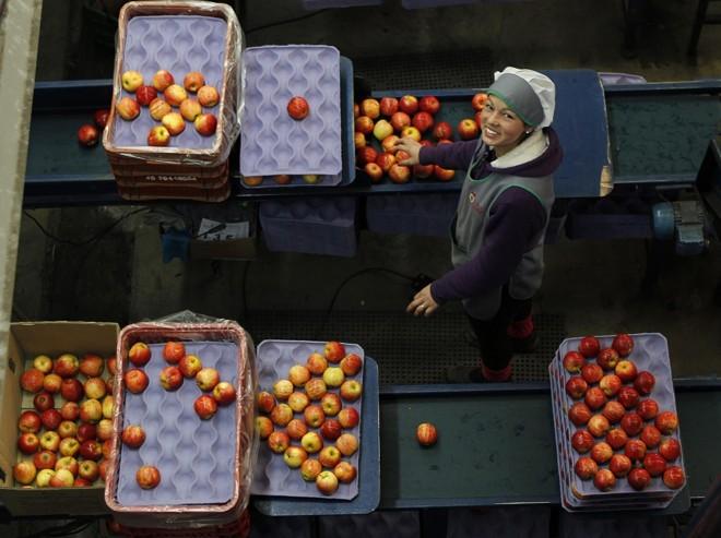 Para cada agricultor, setor da maçã rende pelo menos um emprego nas centrais de armazenagem e beneficiamento, onde a fruta dobra de valor.  Foto: Jonathan Campos/Gazeta do Povo |