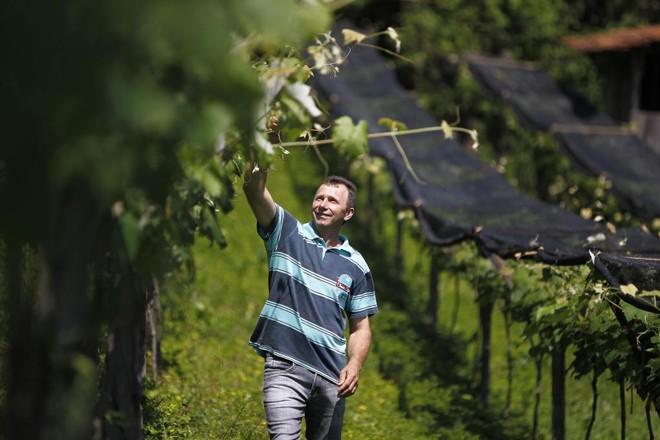 Ademir é um dos quatro irmãos que continua a produção de uva, tradição na família de descendentes de italianos. | Jonathan Campos/Jonathan Campos