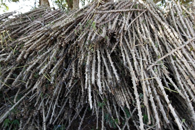 Derivada da raiz, a fécula de mandioca é o amido separado da massa, que é considerada resíduo e acaba sendo utilizada como adubo das próprias lavouras. | Jonathan Campos/Gazeta do Povo