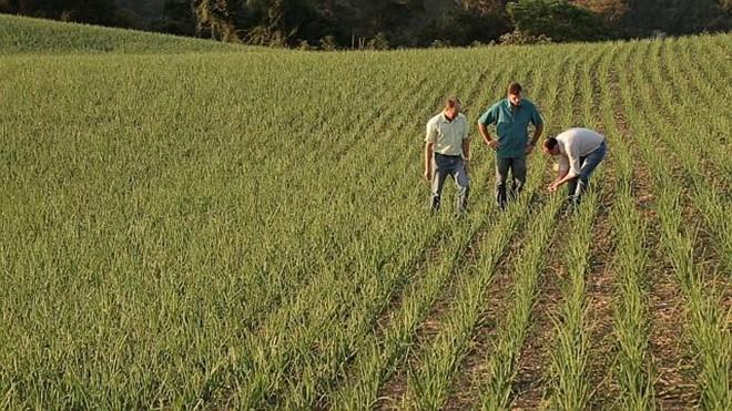 Cebola é uma das culturas que ganhou espaço nos campos catarinenses. | Jonathan Campos / Gazeta do Povo
