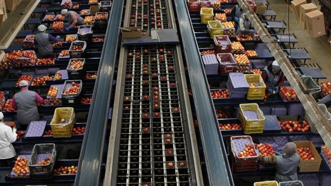 Metade dos postos de trabalho da maçã está nos pomares e metade na indústria de São Joaquim. | Jonathan Campos/Gazeta do Povo