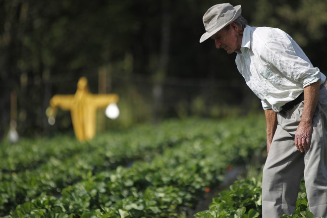 Produção de amora e framboesa exige cuidados diários com a horta, para evitar pequenas pragas. | Jonathan Campos/Gazeta do Povo