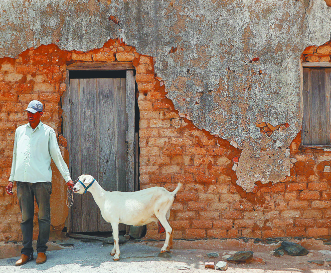 Lindomar e a cabra que produz 4,5 litros/ dia. Ao lado, Marineide e Raimundo sob um umbuzeiro. | Fotos: Jonathan Campos / Gazeta do Povo
