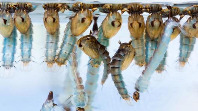 Larvas do Aedes aegypti, vetor da dengue, zika e chikungunya | Bigstock/Bigstock