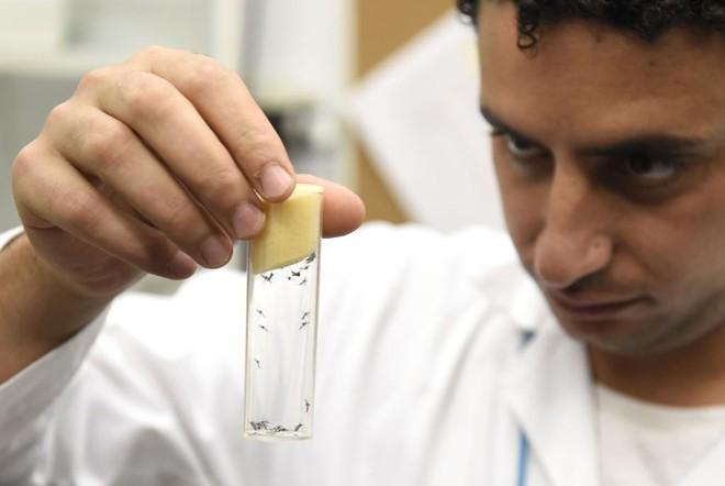 Cientista analisa espécimes do Aedes aegypti, mosquito transmissor do zika   HELMUT FOHRINGER/AFP