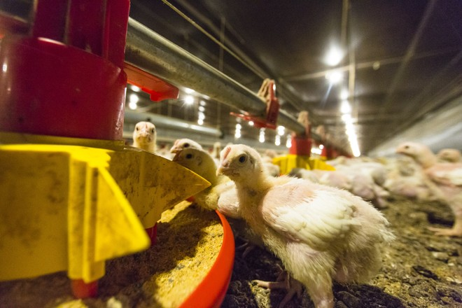 90% do preço do frango são determinados pelo milho. | Lineu Filho / Gazeta do Povo