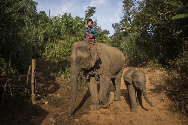 Mahout A Thay Lay monta o elefante desempregado Hsar Hlay, ao lado do filhote Mojito. | ADAM DEAN/NYT