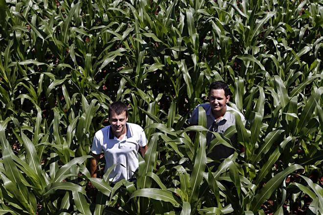 Com preços favoráveis, Helder Lauer e Jean Lazzarotto apostam alto no plantio de milho safrinha. | Albari Rosa / Gazeta do Povo