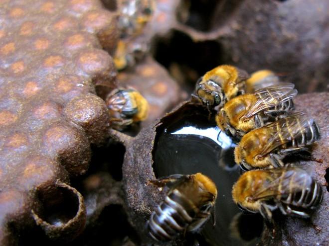 A equipe de cientistas sequenciou o genoma completo de uma amostra de abelhas e comparou com amostras de outras populações de abelhas para desvendar os mecanismos da reprodução assexuada | Instituto Biológico/Divulgação