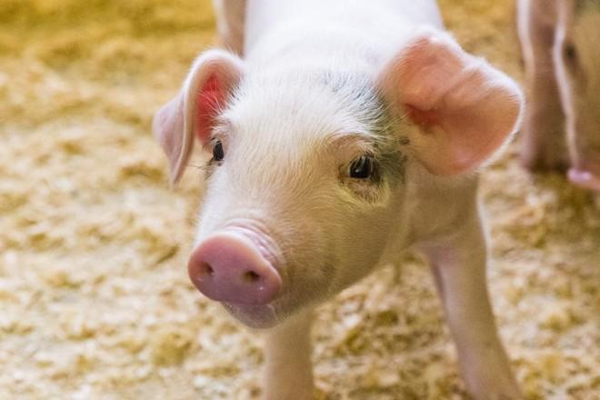 O aumento recente foi motivado pela redução na oferta de animais, a melhora gradativa no mercado interno e a exportação.   Lineu Filho/Gazeta do Povo