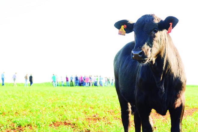 Segundo a Associação Brasileira de Angus (ABA), em 2015 o abate de animais da raça aumentou 21% em relação ao ano anterior, enquanto o abate total de gado caiu 9%.   Fernando Benega/