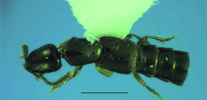 O inseto mede 2,5 mm e se alimenta de pequenos insetos | Arquivo Pessoal/Edilson Caron