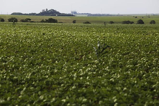 Em algumas lavouras, grãos da colheita do milho na última safra agora germinam e criam problema nas plantações de soja. | Felipe Rosa/TRIBUNA DO PARANA