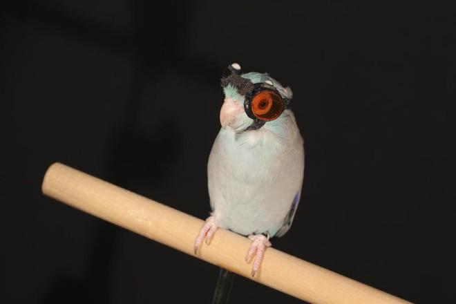 Obi, o pequeno pardal do Pacífico da Universidade de Stanford, aprendeu a usar óculos para atravessar feixes de laser   ERIC GUTIERREZ/NYT