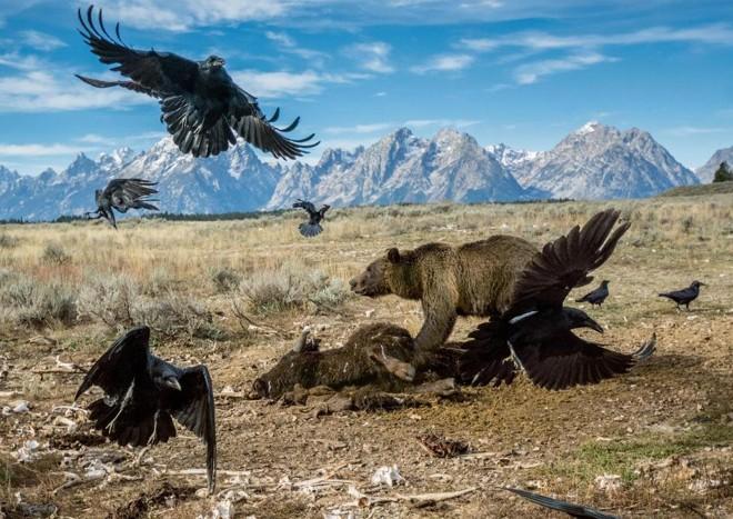 Urso-cinzento se alimenta de bisão no Parque Nacional de Yellowstone, nos EUA   Charlie Hamilton James/Reprodução