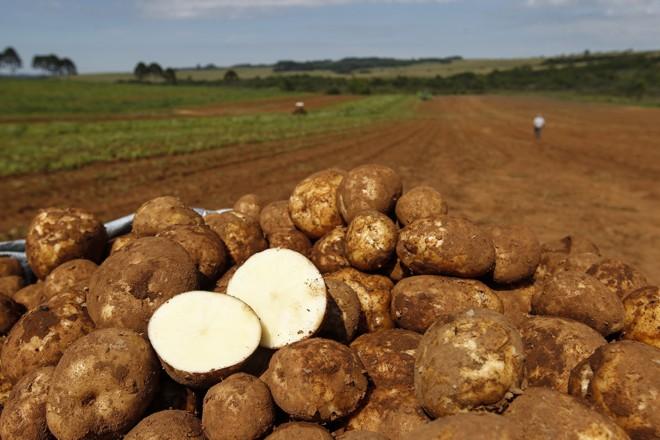 A colheita anual dos Dzierwa chega a 8 mil toneladas.   Jonathan Campos/Gazeta do Povo