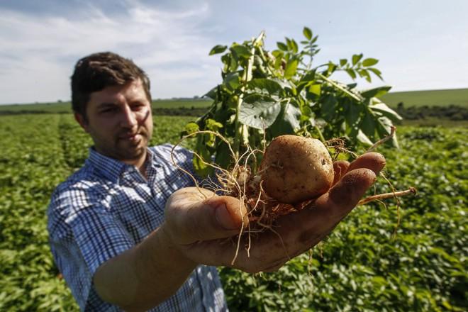 Engenheiro agrônomo de formação, há sete anos Alexandre cuida das plantações de batata da família.   Jonathan Campos/Gazeta do Povo