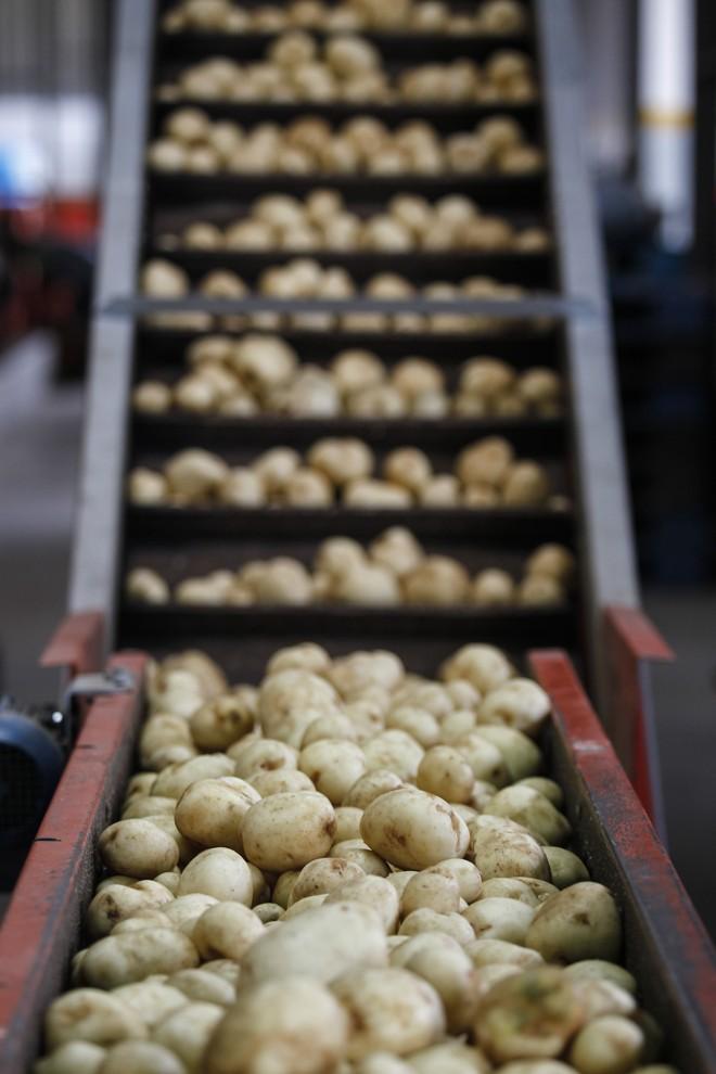 No caso das batatas que vão para o mercado, o descarte chega a 20% da produção, por causa da exigência dos consumidores.   Jonathan Campos/Gazeta do Povo