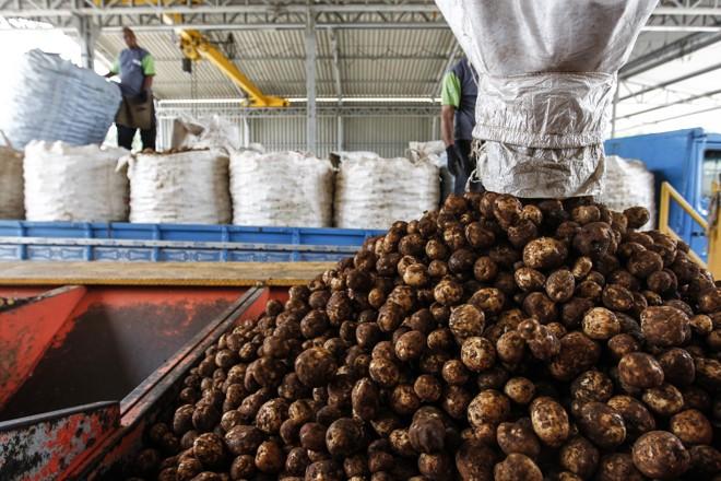Depois de colhida, a batata é descarregada na fábrica de beneficiamento, já em Contenda.   Jonathan Campos/Gazeta do Povo
