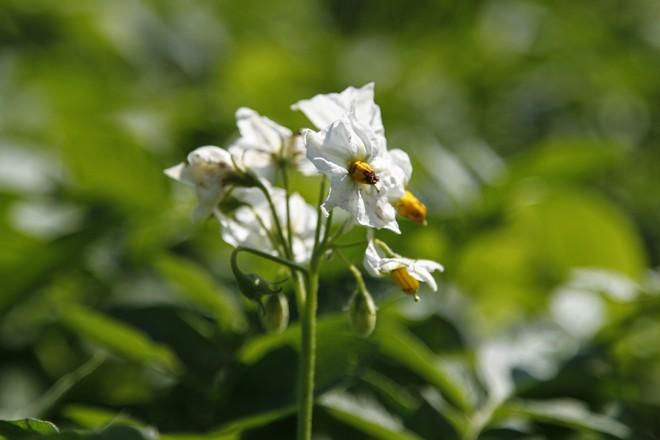 Detalhe da flor de batata.   Jonathan Campos/Gazeta do Povo