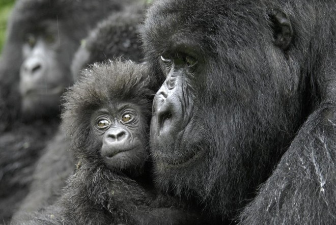 Estudo de abrangência inédita mostra que o celular pode ser o responsável pela extinção de primatas. | Russel A. Mittermeier/Conservation International/NYT /NYT