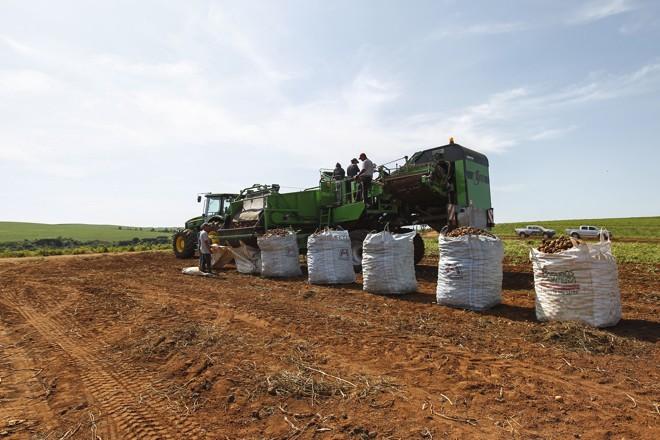 Esta lavoura, por exemplo, fica em Palmeira, mas eles também plantam na região da Lapa.   Jonathan Campos/Gazeta do Povo