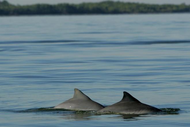 Golfinhos em Paranaguá: animais podem ser vistos de vários locais do litoral paranaense. | Antônio More / Gazeta do Povo/Antônio More / Gazeta do Povo