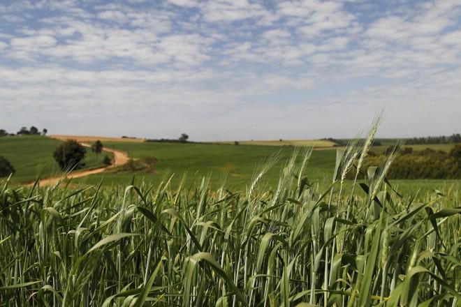 Se durante a colheita a cotação chegou a animar, beirando os R$ 38/saca (preço mínimo), no Paraná, agora a cotação não passa dos R$ 33/saca. | Jonathan Campos/Gazeta do Povo