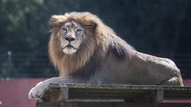Leão vai morder mais forte esse ano | Henry Milléo/Gazeta do Povo/Arquivo