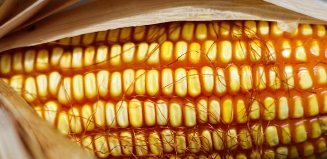 De acordo com o USDA, os Estados Unidos devem produzir 362,09 milhões de toneladas de milho.   Daniel Castellano/Gazeta do Povo