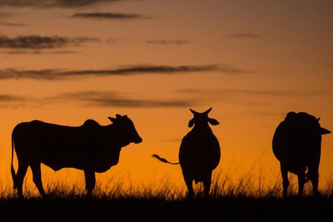 Austrália é inclusive um dos concorrentes do Brasil na criação de gado. | Brunno Covello/Gazeta do Povo