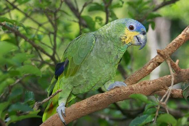 Espécie de papagaio-do-mangue  é relativamente comum na natureza. | /Divulgação SMCS